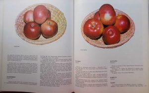 Sorte jabuka